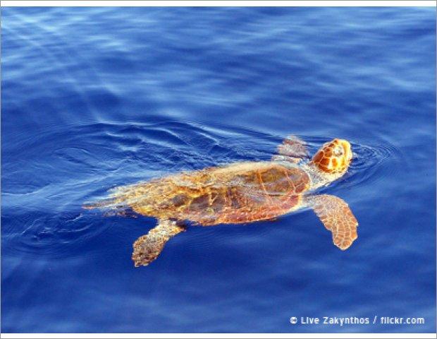 Sea Turtle Caretta-Caretta